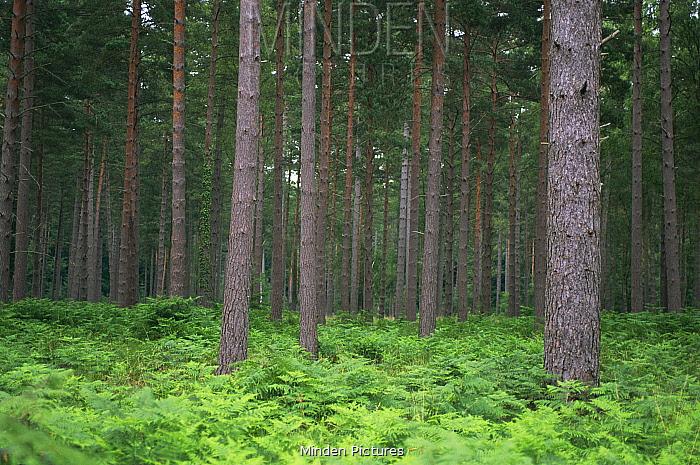 Bracken (Pteridium aquilinum) in coniferous forest plantation, Hampshire, UK  -  Andrew Harrington/ npl