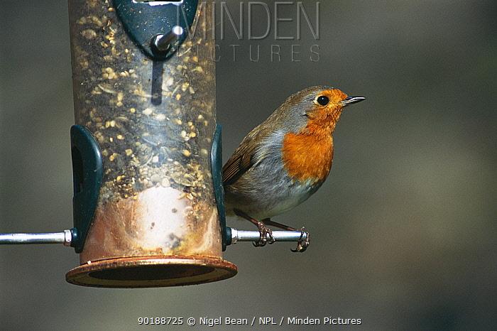 Robin on bird feeder (Erithacus rubecula) Bristol, UK  -  Nigel Bean/ npl