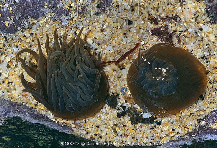 Snakelocks anemone retracted and closed (Anemonia viridis) Cornwall, UK  -  Dan Burton/ npl