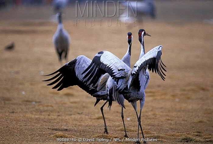 Common crane courtship dancing (Grus grus) Hornborga, Sweden  -  David Tipling/ npl