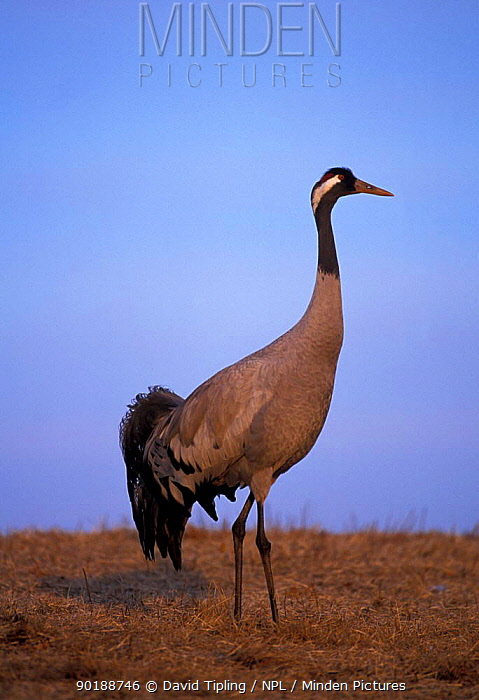 Common crane portrait (Grus grus) Hornborga, Sweden  -  David Tipling/ npl