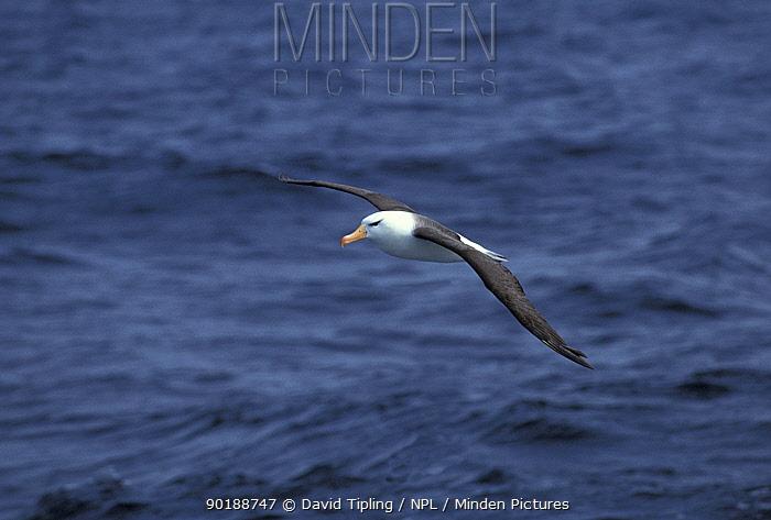 Black browed albatross flying over sea (Thalassarche melanophrys) Falkland Is  -  David Tipling/ npl