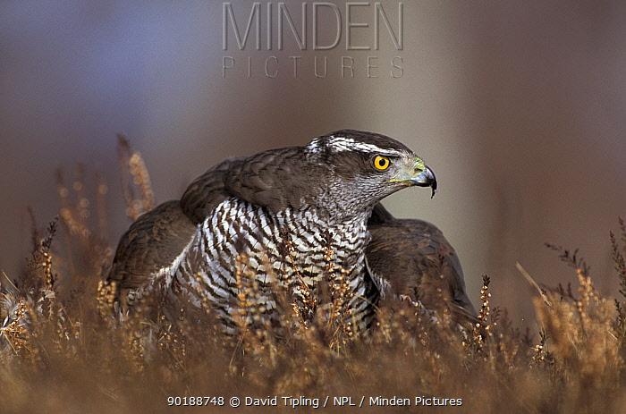 Northern goshawk mantling prey (Accipiter gentilis) Scotland, U  -  David Tipling/ npl