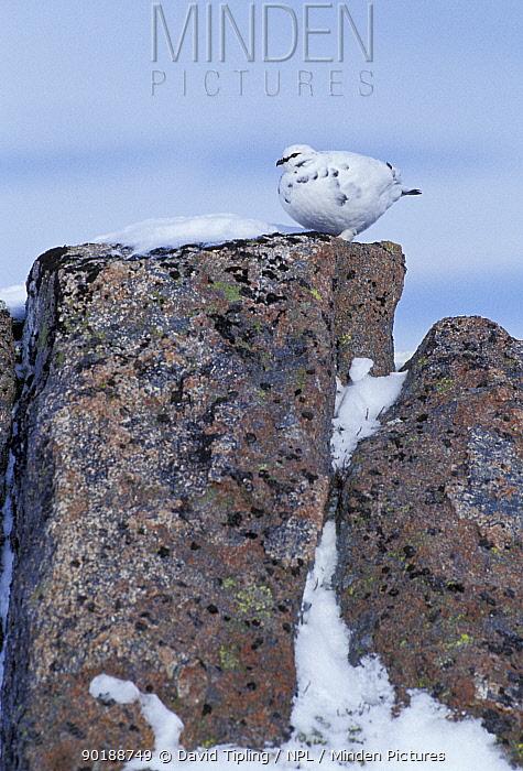 Rock ptarmigan on granite blocks (Lagopus mutus) Cairngorms, Scotland, UK  -  David Tipling/ npl
