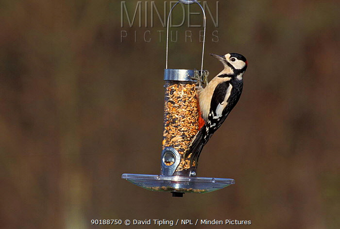 Great spotted woodpecker on feeder (Dendrocopus major) UK  -  David Tipling/ npl