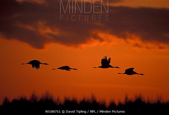 Common cranes flying at sunrise (Grus grus) Hornborga, Sweden  -  David Tipling/ npl