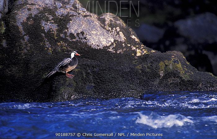 Torrent duck, male beside river (Merganetta armata) Huilo-huilo, Chile  -  Chris Gomersall/ npl