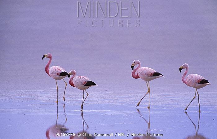 Four Andean flamingoes (Phoenicoparrus andinus) Salar de Surire, Chile  -  Chris Gomersall/ npl