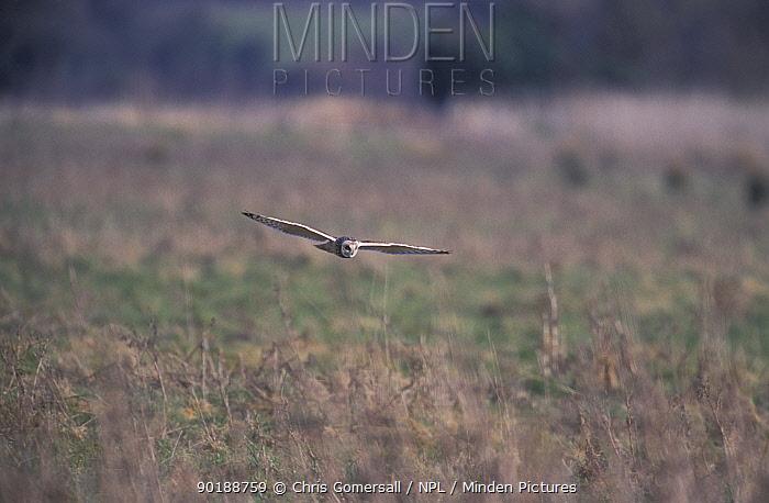 Short eared owl hunting over grassland (Asio flammeus) Norfolk, UK  -  Chris Gomersall/ npl