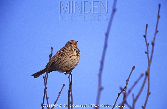 Corn bunting singing (Emberiza calandra) Hertfordshire, England  -  Chris Gomersall/ npl