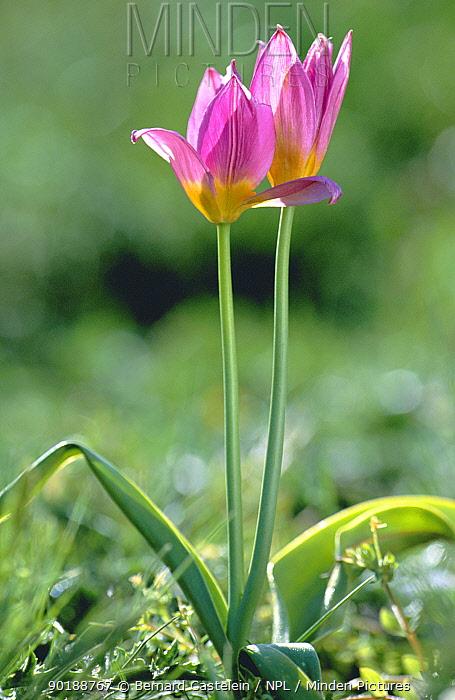 Lilac wonder tulip (Tulipa bakeri) endemic in western Crete, Greece  -  Bernard Castelein/ npl