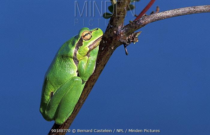 Common tree frog (Hyla arborea) Agia, Crete, Greece  -  Bernard Castelein/ npl