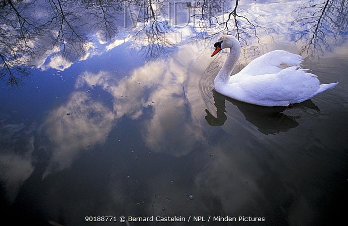 Mute swan (Cygnus olor) with clouds reflected in water Brasschaat, Belgium  -  Bernard Castelein/ npl