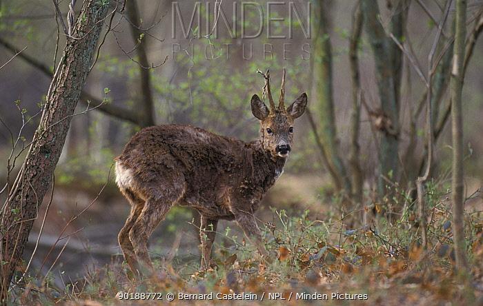 Roe deer moulting in spring (Capreolus capreolus) Belgium  -  Bernard Castelein/ npl