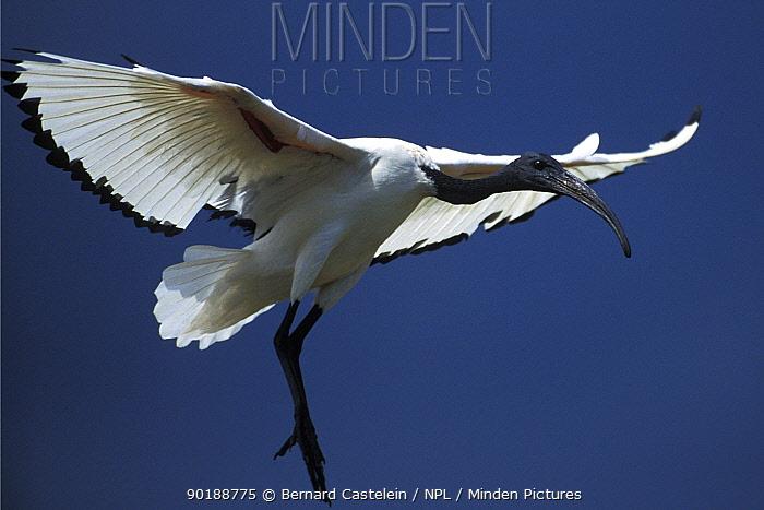 Sacred ibis landing (Threskiornis aethiopicus) Dunga, Lake Victoria, Kenya  -  Bernard Castelein/ npl