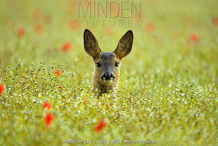 Alert Female Roe deer (Capreolus capreolus) head peering above long grass, England, UK, Europe  -  T.J. Rich/ npl