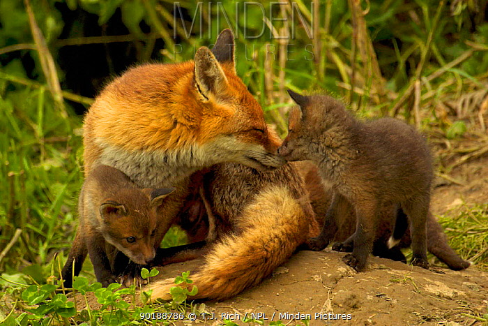 Female Red fox (Vulpes vulpes) with cubs, greeting behaviour, England, UK, Europe  -  T.J. Rich/ npl