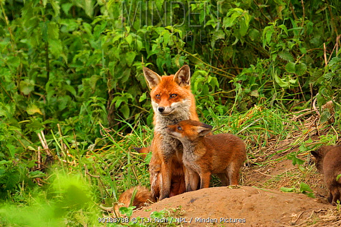 Red fox mother with cubs (Vulpes vulpes) outside den, England, UK, Europe  -  T.J. Rich/ npl