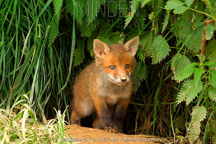 Young Red fox cub (Vulpes vulpes) emerging from den England, UK, Europe  -  T.J. Rich/ npl