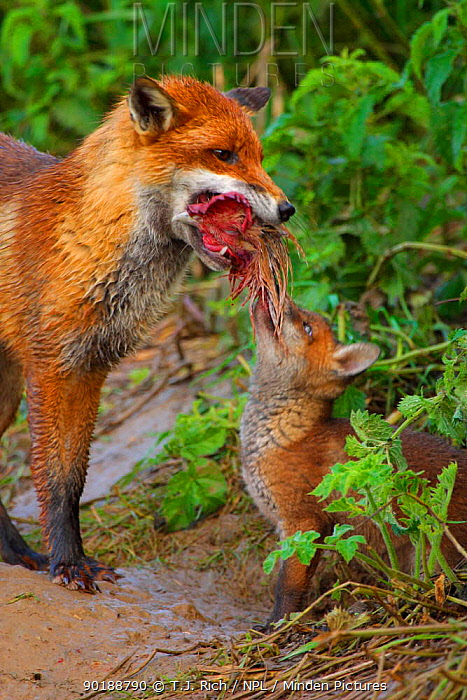Young Red fox cub (Vulpes vulpes) begs for food (chicken) from mother, England, UK, Europe  -  T.J. Rich/ npl