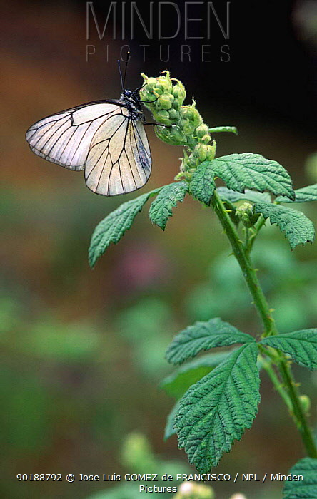 Black veined white butterfly (Aporia crataegi) on plant  -  Jose Luis Gomez De Francisco/ np