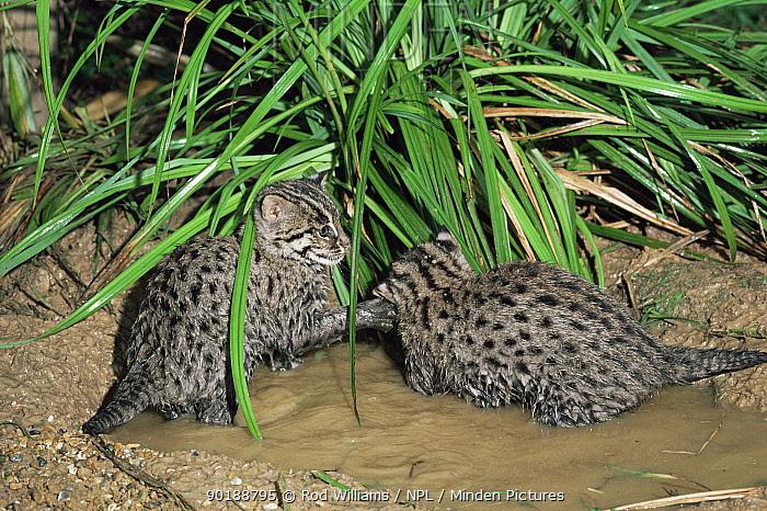 Two young Fishing cats (Prionailurus, Felis viverrinus) play-fighting Captive  -  Rod Williams/ npl