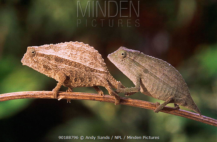 Male and female African stump tailed chameleons (Rhampholeon brachyurus) Captive  -  Andy Sands/ npl