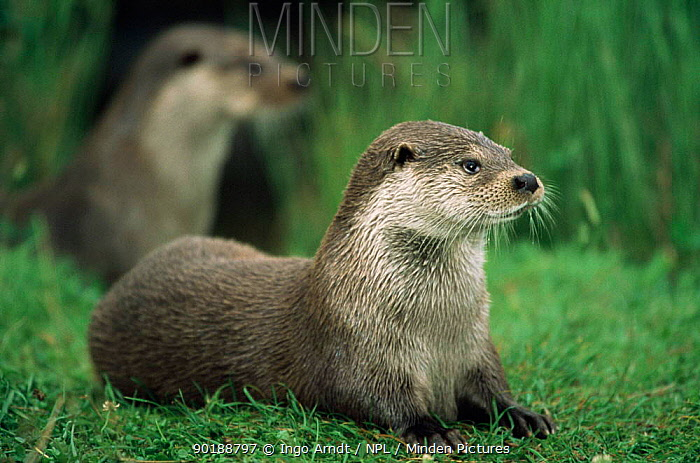 Two European river otters (Luyra lutra) resting a on grass bank Captive  -  Ingo Arndt/ npl