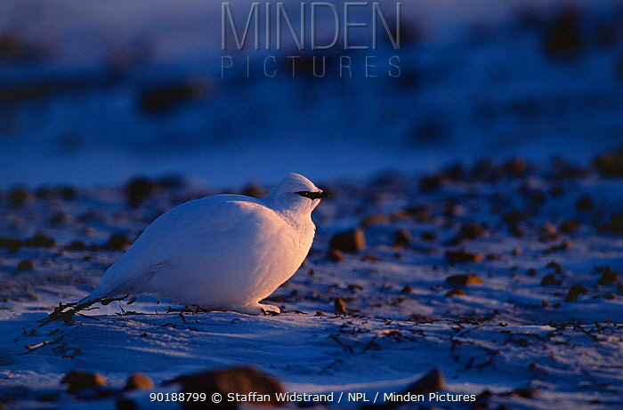 Rock ptarmigan (Lagopus mutus) winter plumage, Ellesmere Island, Canada  -  Staffan Widstrand/ npl