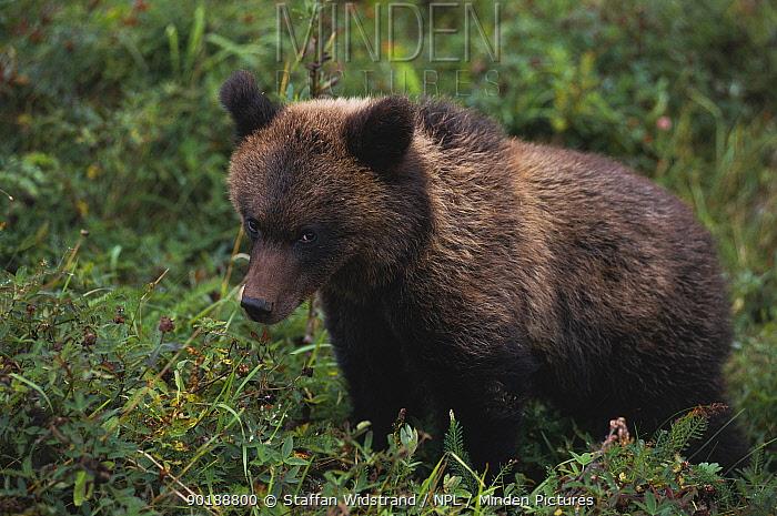 European Brown Bear (Ursus arctos) Finland  -  Staffan Widstrand/ npl