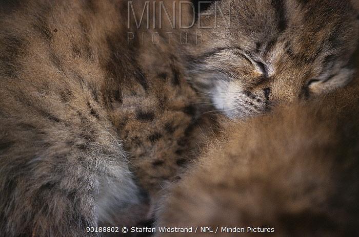 Wild European Lynx kitten sleeping (Lynx lynx) Stora Sjofallet NP, Lapland, Sweden  -  Staffan Widstrand/ npl