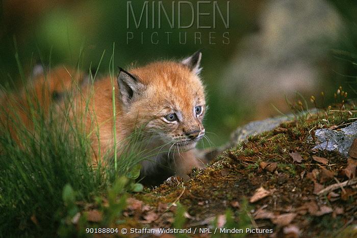 Lynx kitten (Lynx lynx) captive, Norway  -  Staffan Widstrand/ npl