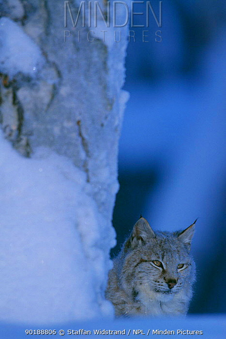 Lynx (Lynx lynx) captive, Lycksele, Sweden  -  Staffan Widstrand/ npl