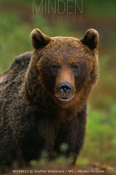 European Brown Bear portrait (Ursus arctos) Lapland, Finland  -  Staffan Widstrand/ npl