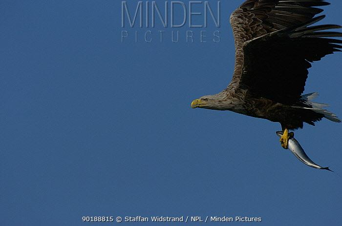 European, White tailed sea eagle (Haliaetus albicilla) with fish, Norway  -  Staffan Widstrand/ npl