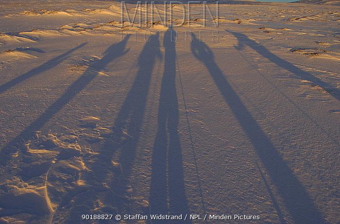 Long shadows cast by Cross country skiiers, Grovelsjon NR, Dalarna, Sweden  -  Staffan Widstrand/ npl