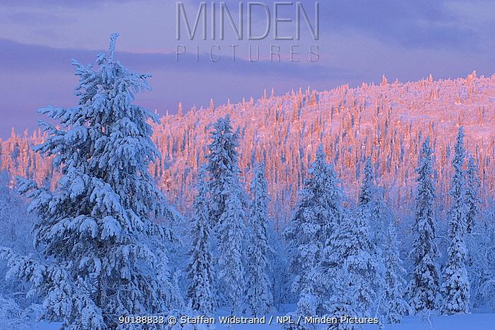Virgin boreal forest, Muddus National Park, Lapland, Sweden  -  Staffan Widstrand/ npl