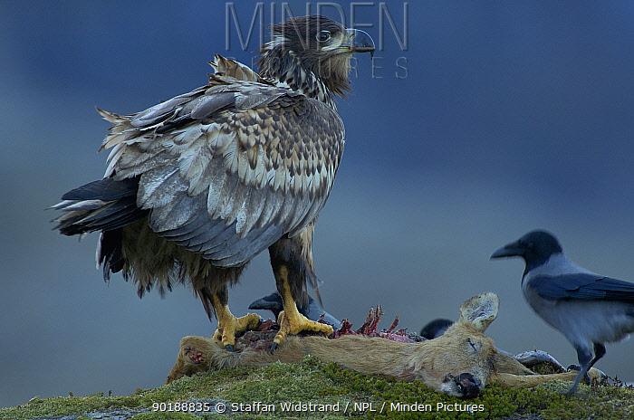 White tailed Sea Eagle (Haliaetus albicilla) and Hooded Crow, Flatanger, Norway  -  Staffan Widstrand/ npl