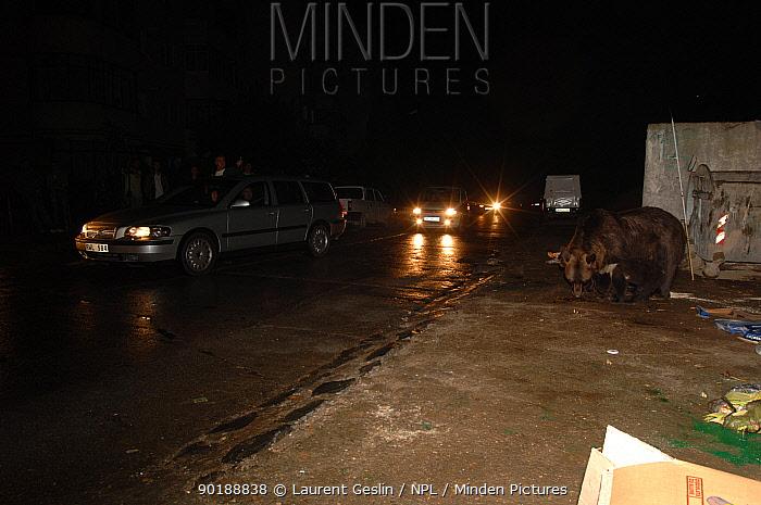 European brown bear and cub scavenging by rubbish bins, watched by people, Brasov,  -  Laurent Geslin/ npl