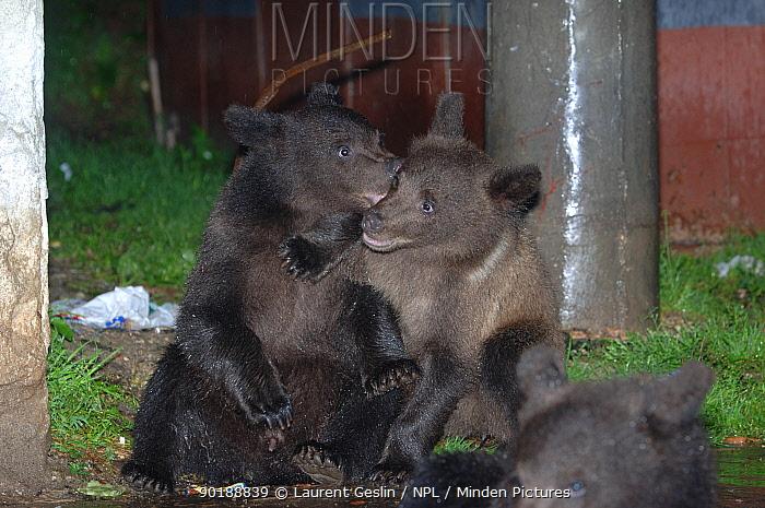 European brown bear cubs playing near rubbish bins (Ursus arctos) Brasov, Romania  -  Laurent Geslin/ npl