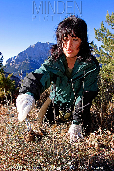 Collecting European grey wolf droppings, Cad?-Moixer? NP Spain  -  Juan Manuel Borrero/ npl