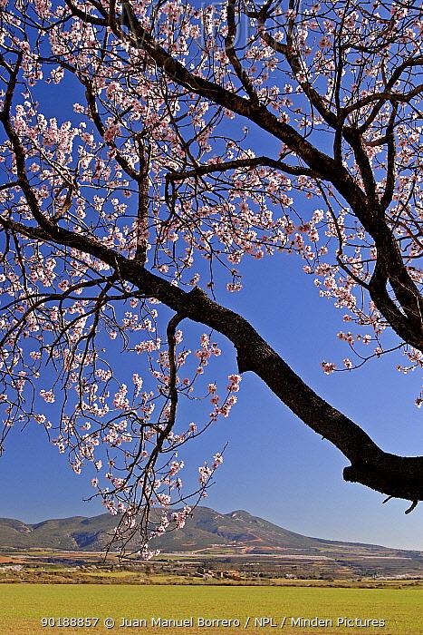 Almond tree flowering, Huesca, Spain  -  Juan Manuel Borrero/ npl