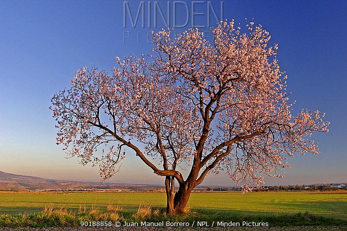 Almond tree in flower (Prunus dulcis) Huesca, Spain  -  Juan Manuel Borrero/ npl