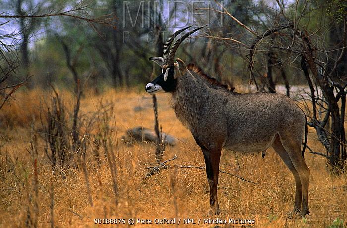Roan antelope (Hippotragus equinus) Hwange NP, Zimbabwe  -  Pete Oxford/ npl