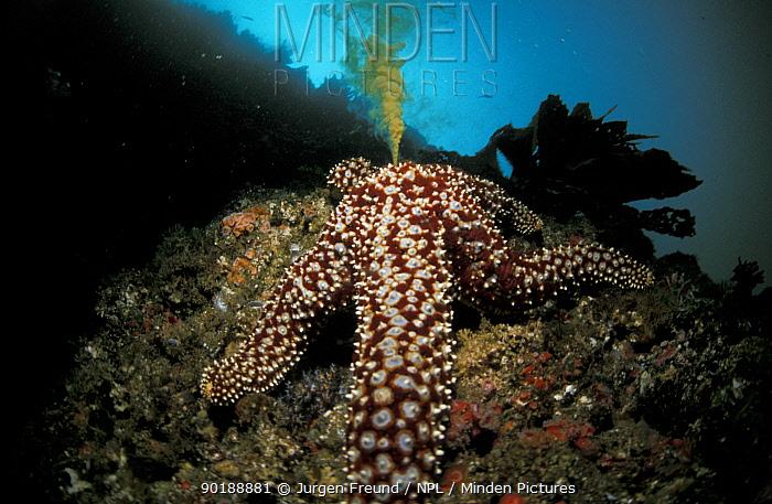 Seastar spawning (Asterias forbesi) California, USA  -  Jurgen Freund/ npl