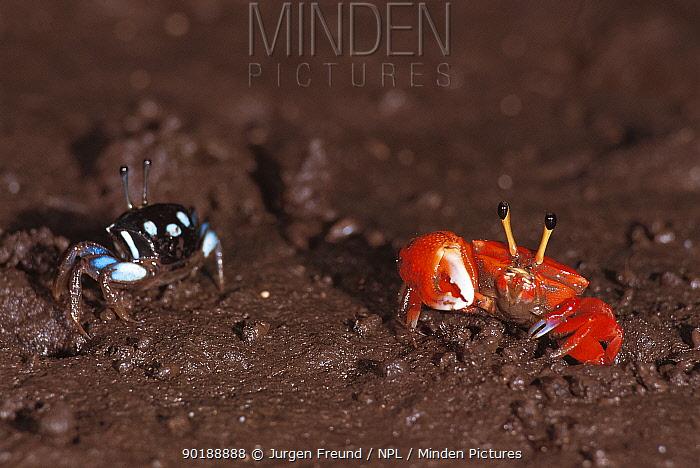Fiddler crab pair (Uca sp) Sulawesi, Indonesia Male on right  -  Jurgen Freund/ npl
