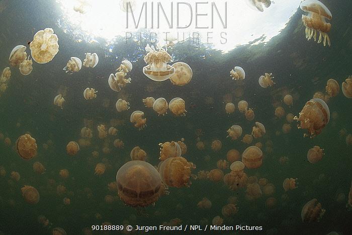 Stingless jellyfish float in brackish water lake, Kalaban Is, Kalimantan, Indonesia  -  Jurgen Freund/ npl
