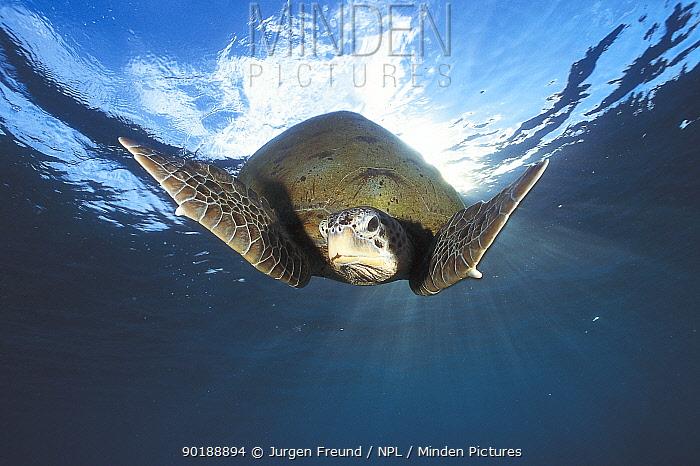Green turtle swimming (Chelonia mydas) Sulu-sulawesi seas, Indo Pacific ocean  -  Jurgen Freund/ npl