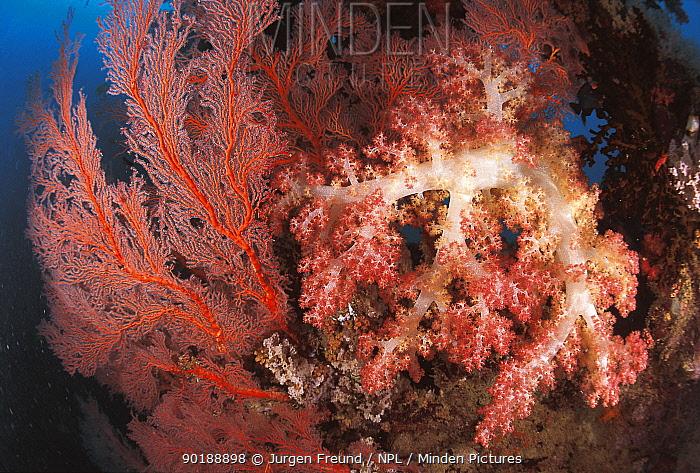Soft coral (Dendronephthya sp) and Gorgonia fan Sulu-sulawesi seas, Indo Pacific  -  Jurgen Freund/ npl