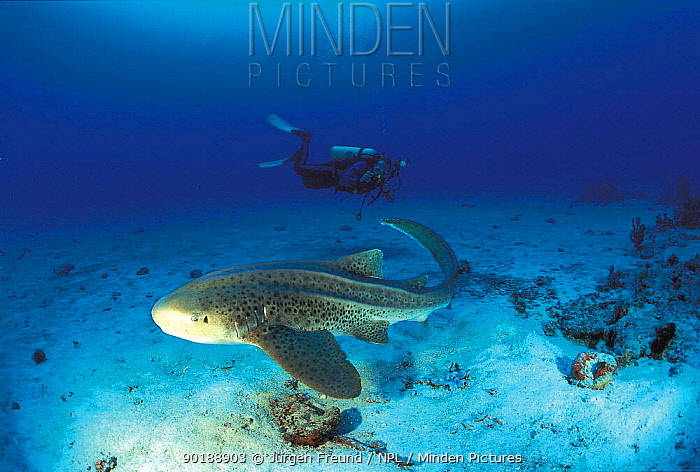 Zebra (Leopard) shark (Stegosoma fasciatum) and diver, Sulu-sulawesi seas, Indo-pacific  -  Jurgen Freund/ npl